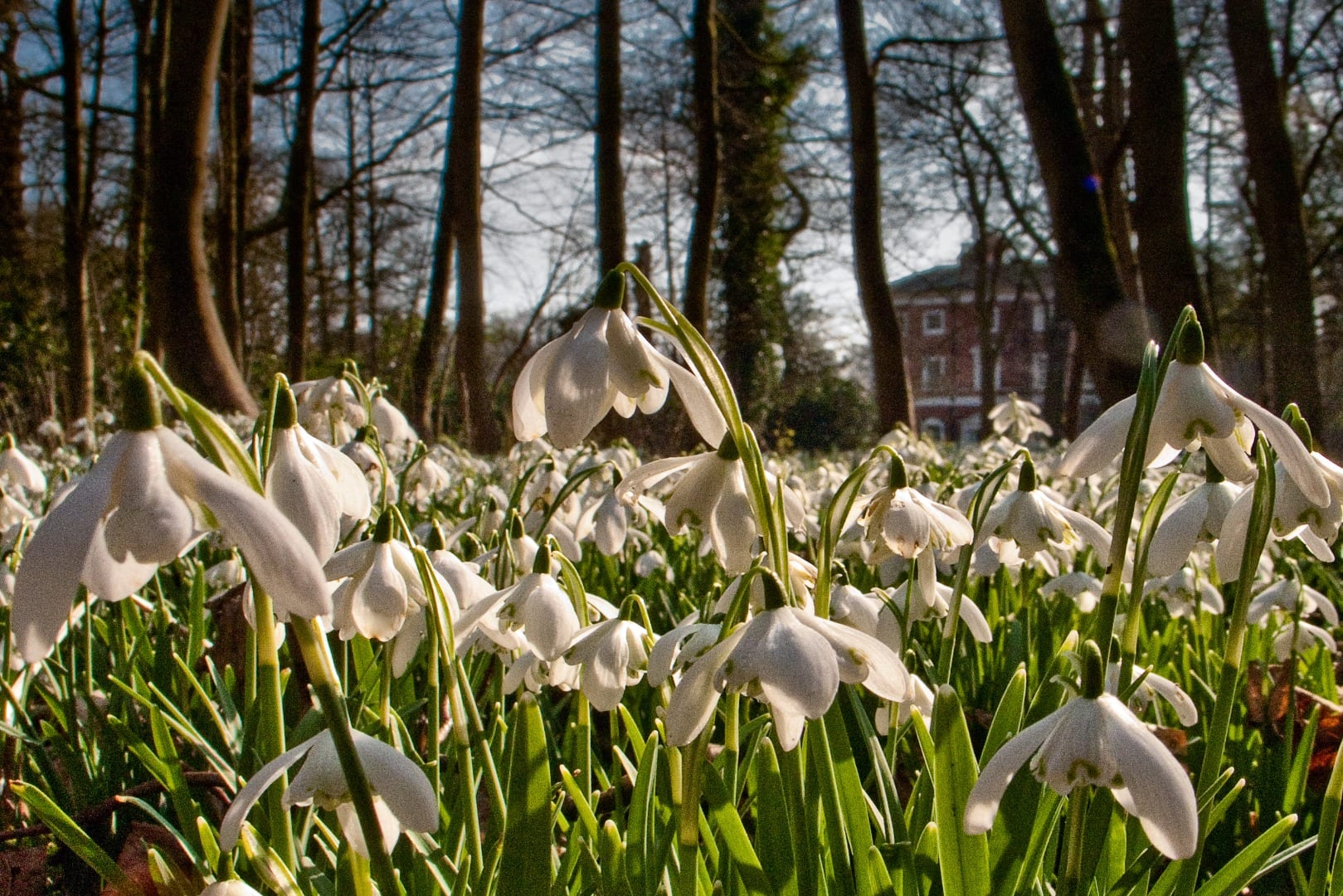 Snowdrop Sundays - what's on at Lytham Hall