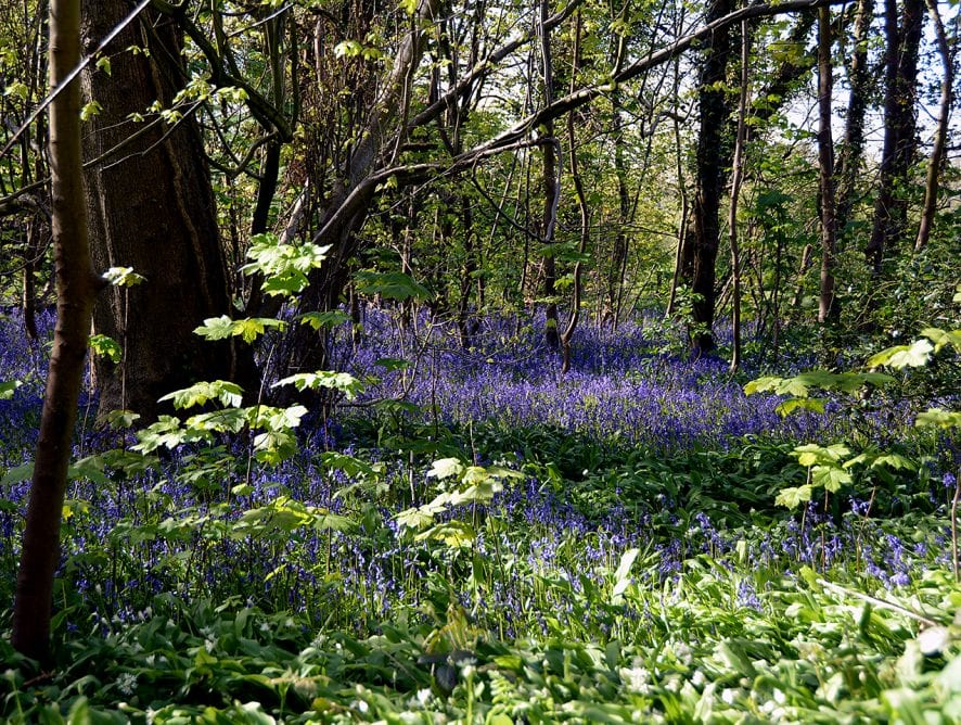 Bluebells in Witch Wood Lytham